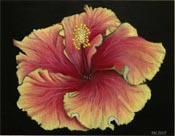 Sea Breeze Hibiscus